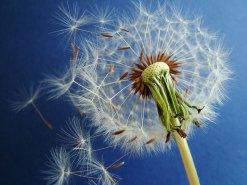 Or dandelion?