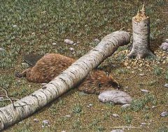murphyslaw_beaver