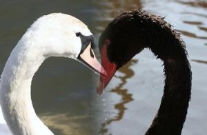 white-black swans