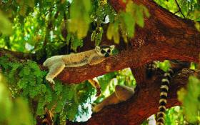 lemur_sleeping_tree