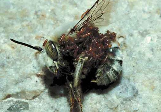 meloidae_beetle_larvae