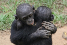 bonobo_consolation