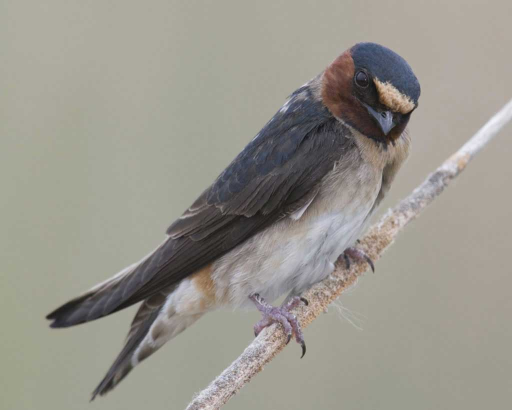 Cliff_Swallow