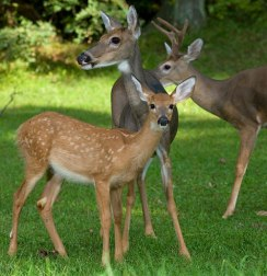 whitetail-deer-family