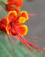 Pride of Barbados flower