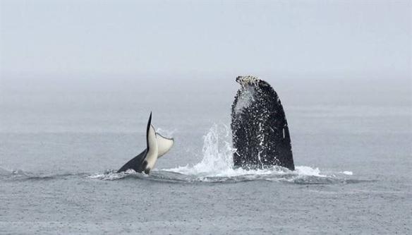 Humback v Orca