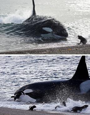 Orca v seals